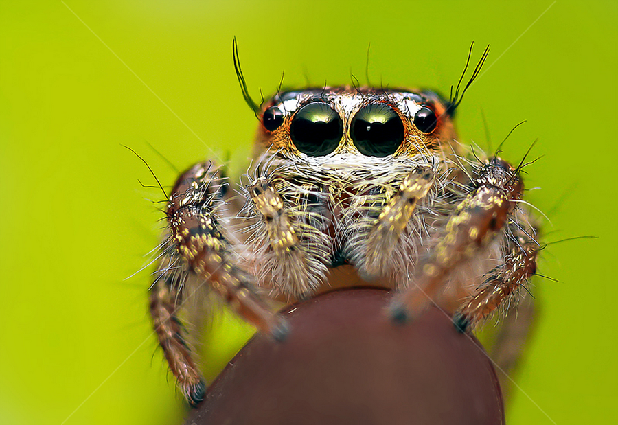 Cute  by Jishnu Satheesh babu - Animals Insects & Spiders ( macro, reverse, with, on, lil, spider, leaf, 18-55mm, lens )