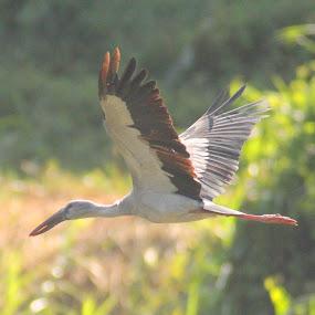 by Anthony Buongpui - Animals Birds (  )
