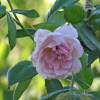 Mier y Teran Rose