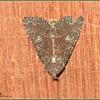 Condica Noctuid Moth