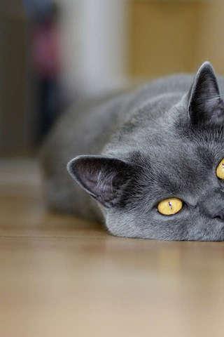 英國短毛貓拼圖