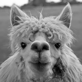 Alpaca by Joe Butler - Animals Other (  )