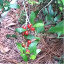 Bush or small tree with red berries