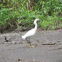 Snowy Egret, Amerikaanse kleine zilverreiger
