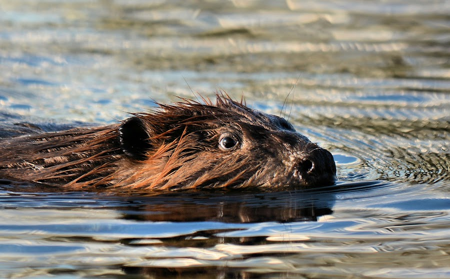 Beaver swimming in the Ocean! by Selena Rhodes Scofield - Animals Other Mammals ( beaver, selena rhodes scofield photography )