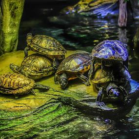 TMNT by Nachau Kirwan - Animals Reptiles ( water, london, aquarium, indoors, baby, turtle,  )