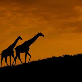 Going home by Adéle van Schalkwyk - Animals Other Mammals ( wild, giraffe, sunset, wildlife, animal )