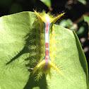 Wattle Cup Caterpillar