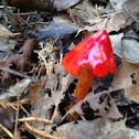Scarlet Waxy Cap