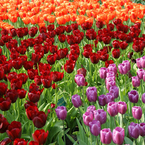 Tulips from Holland by Peter Janssen - Flowers Flower Gardens ( keukenhof, tulip, flower, Flowers, Flower Arrangements )