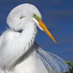 Great Egret by Sandra Blair - Animals Birds ( bird, wading, breeding plumage, wetlands, white bird, florida, egret, great egret,  )