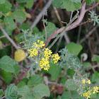 Yellow-tuft