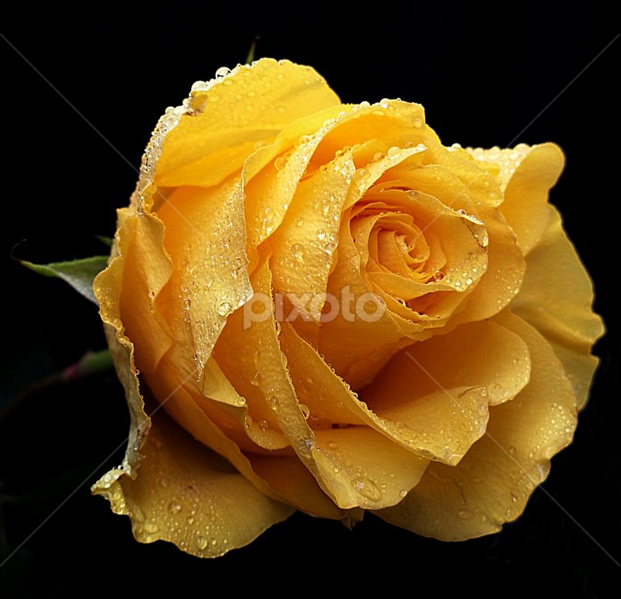 Delicate glow by Biljana Nikolic - Flowers Single Flower (  )