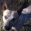 Australian Cattle Dog - Red Heelers