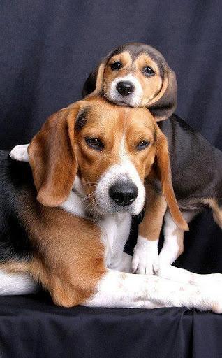 Beagle Puzzle Game