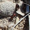 Immature Milkweed Bug