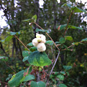 Snowberry, Waxberry, Ghostberry