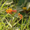 Mexican Butterfly Weed