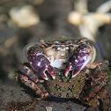 'Alamihi crab