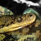 Common boa Boa constrictor