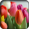 Tulips wallpapers icon