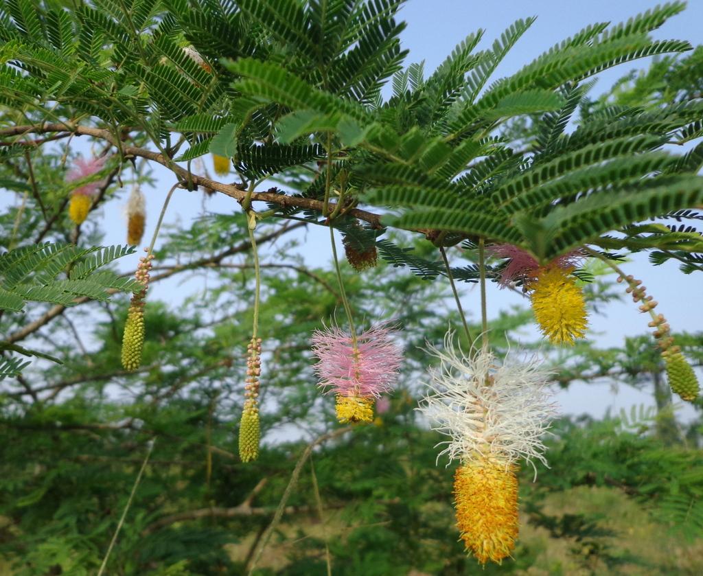 Sickle bush