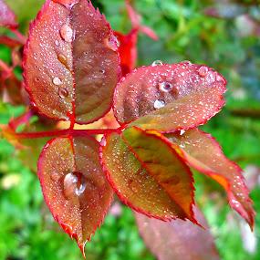 The magic of raindrops by Gordana Cajner - Nature Up Close Natural Waterdrops (  )