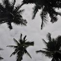 Philippine coconut