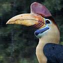 (Male) Red-knobbed Hornbill