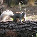 Abert squirrel