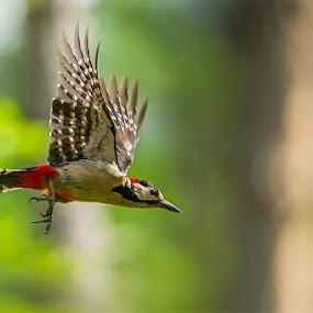 Picchio rosso maggiore by Rigotti Jacopo - Animals Birds
