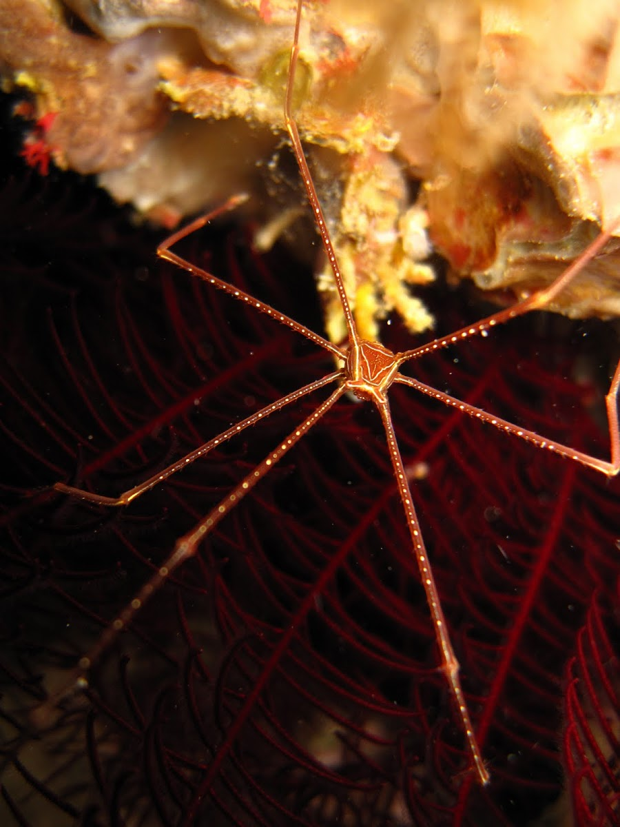 Spider Squat Lobster