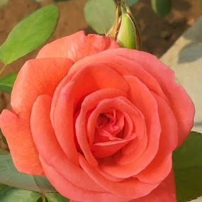 A beautiful rose from our garden by Prashant Jog - Flowers Single Flower