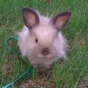 Lionhead Mini-Lop eared rabbit