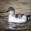 Pigeon Guillemot (juvenile)