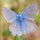 Common Blue, Dos puntos