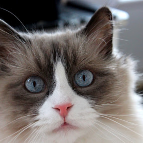 ... by Daniel Gaudin - Animals - Cats Portraits ( big cat, cat, nature, natural, animal,  )