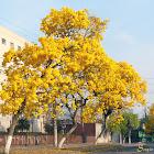 Ipê-amarelo-da-serra (Golden Trumpet Tree)