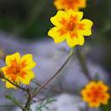 Cinco llagas, Flor de muerto