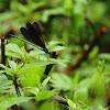 Calopteryx atrata