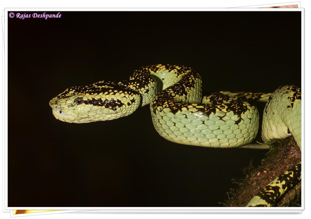 Malabar Pit Viper (Green form)