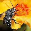 Domino Cuckoo Bee