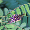 False Indigo Bush