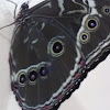 Golioth butterfly