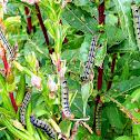 White-lined Sphinx Moth Caterpillars