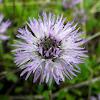 Heart-leaved globe daisy, srcolika glavulja