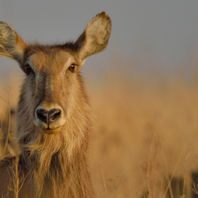 Hiding by Tobie Oosthuizen - Animals Other Mammals ( waterbuck, nature, grass, eyes )