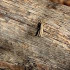 Pygmy Locust