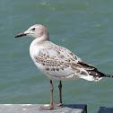 Silver Gull (juvenile)