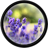 Lavender [HD] Wallpapers